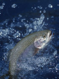 Rainbow Trout Photographic Print by Wally Eberhart