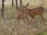 Mule Deer Fawns (Odocoileus Hemionus) in a Mountain Meadow, Pike National Forest, Colorado, USA Photographic Print by Don Grall