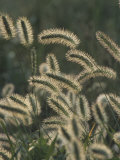 Foxtail Grass Flowers (Setaria), Florida, USA Photographic Print by Marc Epstein