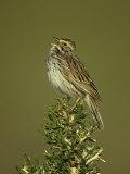 Savannah Sparrow Singing, Passerculus Sandwichensis, Western USA Photographie par John & Barbara Gerlach