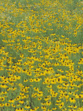 Field of Black-Eyed Susans, Rudbeckia Hirta, USA Photographie par Adam Jones