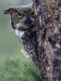 Great Horned Owl Peering from Behind a Tree Trunk (Bubo Virginianus), North America Photographic Print by Joe McDonald