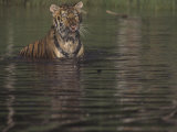 Siberian Tiger in Water, Panthera Tigris Altaica, Russia and Northern Asia Photographic Print by Joe McDonald