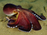 Warning Display of the Veined Octopus. (Octopus Marginatus) Indonesia Photographic Print by Mark Norman