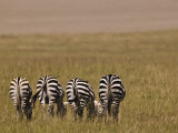 Burcell's Zebras (Equus Burchelli) Masai Mara Game Reserve, Kenya Photographic Print by Adam Jones