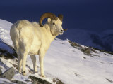Dall Sheep Ram (Ovis Dalli) in the Alpine Environment of Denali National Park, Alaska, USA Photographic Print by Tom Walker