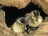 Two Wood Duck Young in their Nest Hole (Aix Sponsa), North America Photographic Print by Steve Maslowski
