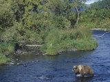 Brown or Kodiak Bear, Ursus Arctos, Kodiak National Wildlife Refuge, Alaska, USA Photographic Print by Joe McDonald