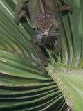 O'shaughnessy's Chameleon, Calumma Oshaughnessyi, Madagascar Photographic Print by Joe McDonald