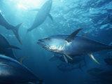 Yellowfin Tuna (Thunnus Albacares) in a Seine Net, Baja California, Mexico Photographie par Richard Herrmann