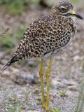 Spotted Thick-Knee or Spotted Stone Curlew, Burhinus Capensis, Samburu, Kenya, Africa Photographic Print by Joe McDonald