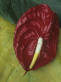 Spathe and Spadix of the Anthurium Andreanum Flower Photographic Print by David Cavagnaro