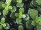 Jade Plant (Crassula Argentea), Crassulaceae. Photographic Print by Dennis Drenner