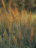 Indian Grass (Sorghastrum Nutans), Ramsey Variety, Central USA Photographic Print by William Johnson