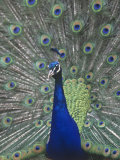 Male Peacock Courtship Display (Pavo Cristatus) Photographic Print by Tom Ulrich
