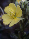 Evening Primrose Flower with Dew, Oenothera Biennis, USA Photographic Print by Joe McDonald