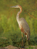 Goliath Heron, Ardea Goliath, Lake Baringo, Kenya, Africa Photographic Print by Arthur Morris