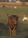 Texas Longhorn Cattle, Southwestern USA Photographic Print by Tom Edwards