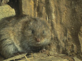 Eastern Meadow Vole (Microtus Pennsylvanicus), Eastern North America Photographic Print by Parke John