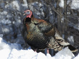 Wild Turkey (Meleagris Gallopavo) Photographic Print by Tom Walker
