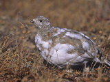 White-Tailed Ptarmigan, Lagopus Leucurus, in its Plumage Between Summer and Winter, North America Photographic Print by Charles Melton