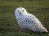 Female Snowy Owl (Nyctea Scandiaca) Standing in Green Spring Grass, Arctic North America Photographic Print by Tom Walker