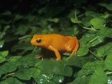 Golden Mantella Frog. (Mantella Aurantiaca) Madagascar Photographic Print by Ken Lucas