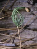 Ponderosa Pine Seedling, Pinus Ponderosa, Plumas National Forest, California, USA Photographic Print by Gerald & Buff Corsi