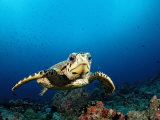Hawksbill Turtle (Eretmochelys Imbricata), Maldives, Indian Ocean Photographic Print by Reinhard Dirscherl