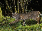 A Bobcat (Felis Rufus), Mount Hood National Forest, Oregon, USA Photographic Print by Michael Durham