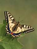 Swallowtail Butterfly (Papilio Machaon), Japan Photographic Print by Leroy Simon