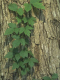 Poison Ivy Growing Up a Tree Trunk, Toxicodendron Radicans, North America Photographic Print by Joel Arrington
