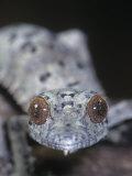 Leaf-Tailed Gecko, Uroplatus Henkeli, Madagascar Fotografie-Druck von Jim Merli