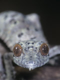 Leaf-Tailed Gecko, Uroplatus Henkeli, Madagascar Photographic Print by Jim Merli