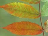 Sumac Leaves in Autumn, Rhus, Michigan, USA Photographic Print by John & Barbara Gerlach