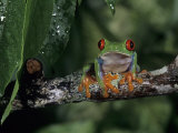 Red-Eyed Treefrog, , Agalychnis Callidryas Photographic Print by Joe McDonald