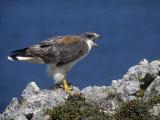Female Red-Backed Hawk (Buteo Polyosoma), Falkland Islands Photographic Print by John & Barbara Gerlach