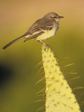 Northern Mockingbird on a Cactus, Mimus Polyglottos, North America Photographic Print by Beth Davidow