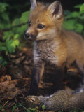 Red Fox Pup (Vulpes Vulpes) Next to Gray Squirrel Prey (Sciurus Carolinensis), North America Photographic Print by Steve Maslowski
