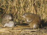 Muskrats (Ondatra Zibethicus) in a Marsh Habitat, USA Photographic Print by William Weber