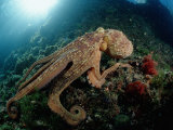 Octopus Photographic Print by Reinhard Dirscherl
