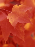 Red Maple Leaves in the Fall (Acer Rubrum) Photographie par Wally Eberhart