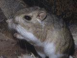 Bannertail Kangaroo Rat (Dipodomys Spectabilis), Deserts of Arizona, USA Photographic Print by Ken Lucas
