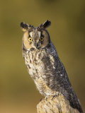 Female Long-Eared Owl, Asio Otus, USA Photographic Print by John Cornell