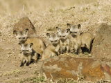 Bat-Eared Fox Young Near their Den, Otocyon Megalotis, East Africa Photographic Print by Joe McDonald