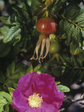 Wild Rose Flower and Rose Hips, Rosa Rugosa, Northeastern USA Photographic Print by Gerald & Buff Corsi