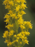 Bog Goldenrod, Solidago Uliginosa, North America Photographic Print by John & Barbara Gerlach
