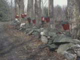 Sugar Maple Trees, Acer Saccharum, with Sap Collection Buckets, New England, USA Photographic Print by Arthur Boufford