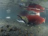 A Male Sockeye Salmon on its Spawning Area (Oncorhynchus Nerka), Kodiak Island, Alaska, USA Photographic Print by Richard Herrmann