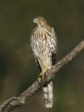 Cooper's Hawk, Accipiter Cooperii, Juvenile Perched on a Branch Looking for Prey, North America Photographic Print by John Cornell